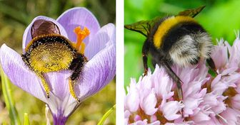 Veja fotos encantadoras de zangões tirando um cochilo nas flores