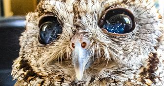 """Conheça Zeus, uma coruja resgatada que possui """"estrelas"""" nos olhos"""