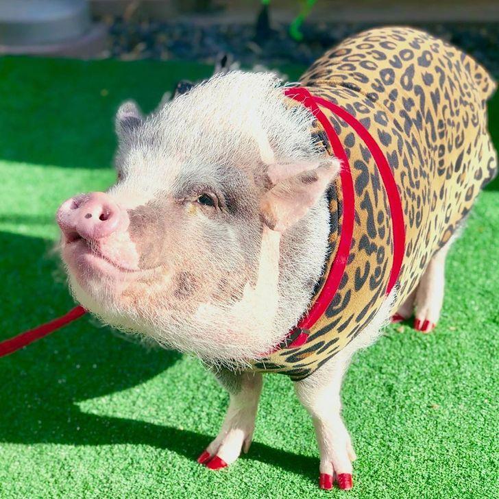Uma porquinha certificada como animal de terapia ajuda os passageiros no aeroporto de São Francisco a superarem o medo de voar