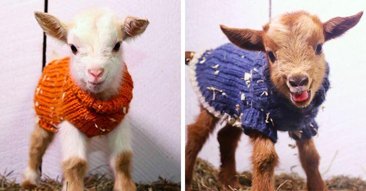 Para evitar resfriados, cabras recém-nascidas de uma fazenda americana ganham agasalhos sob medida