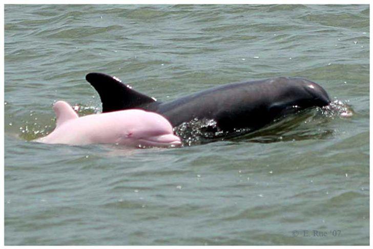 Um raro golfinho nariz de garrafa rosa teve um filhote e, agora, aumentam as chances dessa subespécie aumentar