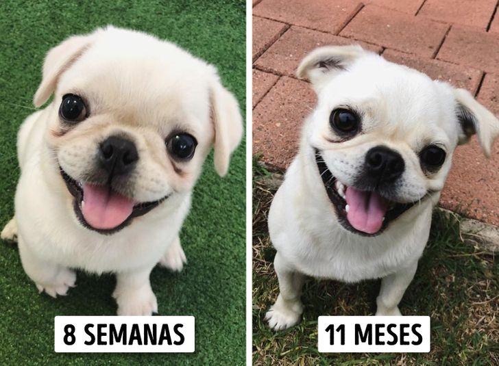 15 Raças de cachorros que parecem ter permanecido filhotes para sempre