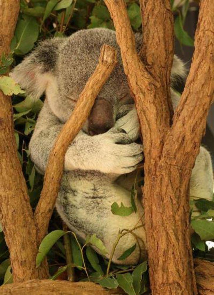 """Como """"adotar"""" um coala e duas outras alternativas para reverter seu destino rumo à extinção"""