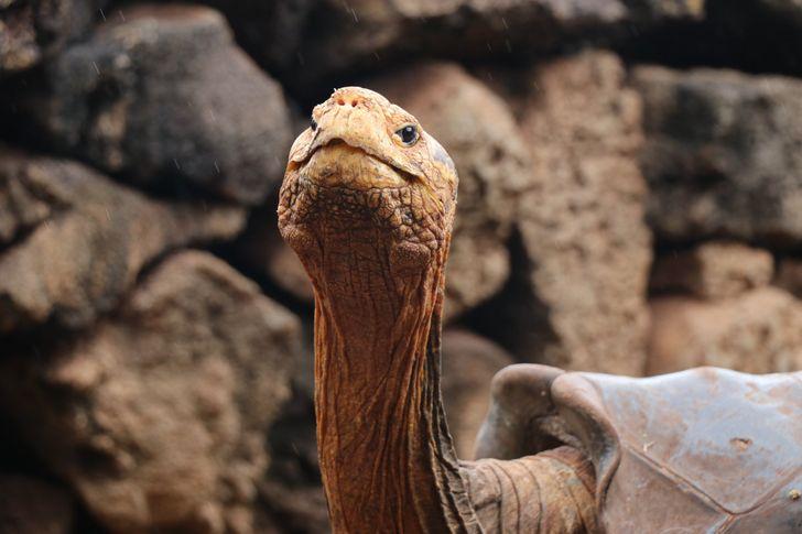 Tartaruga gigante de 100 anos salva sua espécie de extinção sendo pai de 800 filhotes