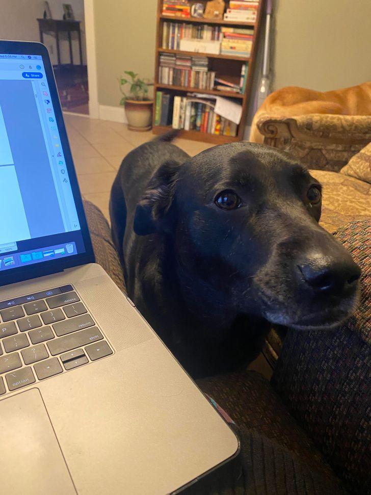 18 Animais que querem chamar a atenção dos donos que trabalham de casa (com eles, o home office pode ser um desafio)