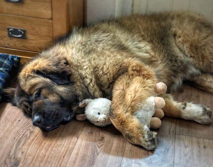 20+ Raças de cachorros que mais parecem ursinhos de pelúcia