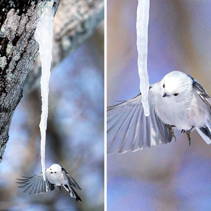 40+ Imagens fofas de um passarinho que se parece com uma bola de algodão