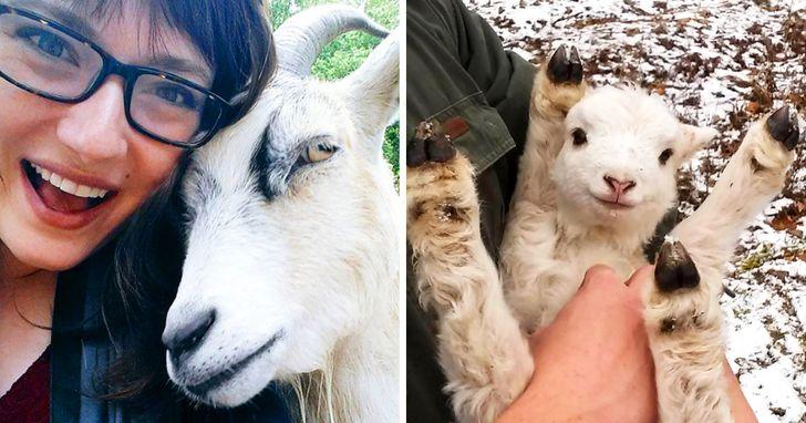 Cabras podem reconhecer emoções e são atraídas por rostos felizes e sorridentes